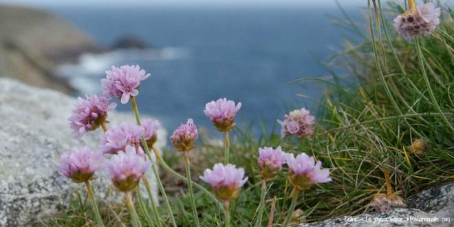Fleurs Pointe du Raz MaCornouaille