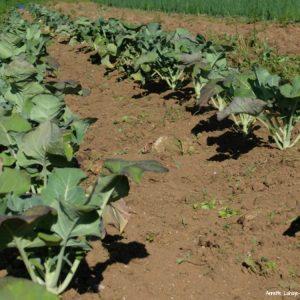 Les légumes sont dans le champ !