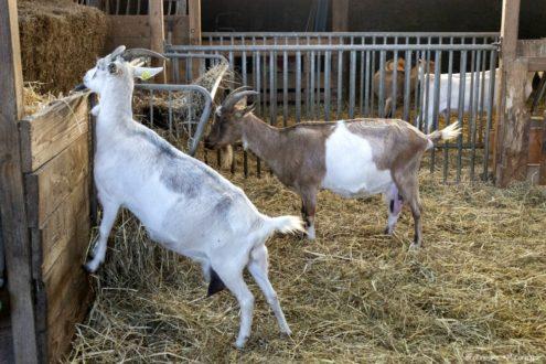 Une visite à la Chèvrerie de la Baie en famille